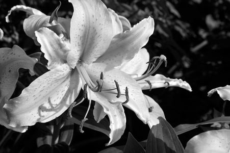 Lily flower art prints in black and white