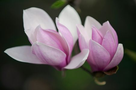 Magnolia blossoms art print macro for home and office interior