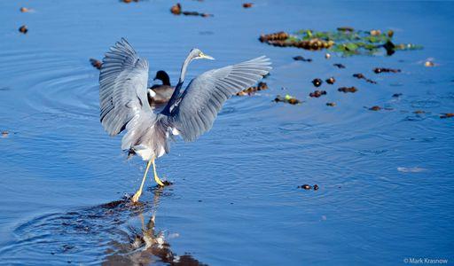 Tricolor Heron Walking on Water art print