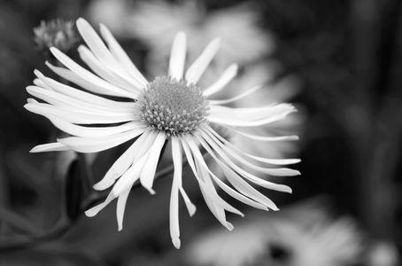 Daisy art print photo in blck & white