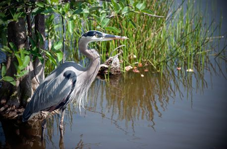 Great Blue Heron waiting for a fish art print