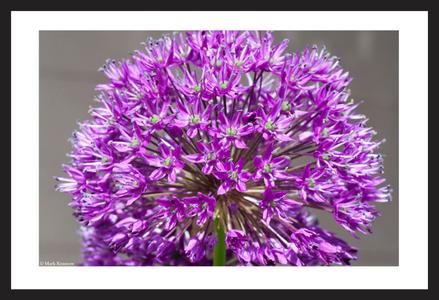 Allium Flower