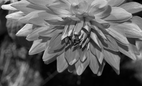 Dahlia flower photography art prints for interior design b&w