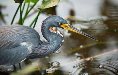 Tricolor Heron wildlife art print