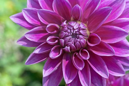 Dahlia flower art prints for home and office interior decoration