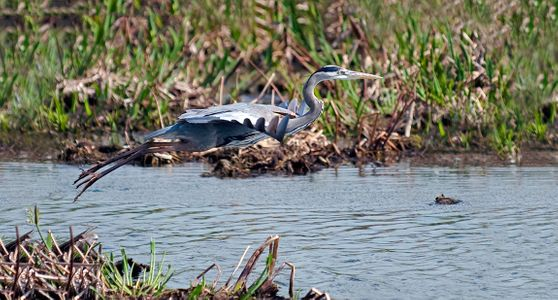 Great Blue Heron in flight photography art print