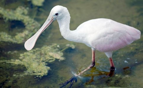 Spoonbill in Florida wetlands art print
