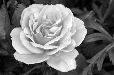 Rose flower photo art print b&w