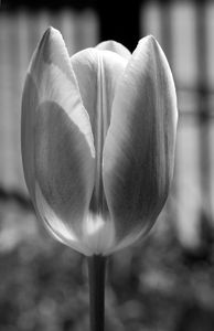 Tulip flower vertical art print in black and white
