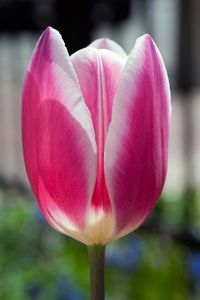 Tulip flower vrtical photography art print