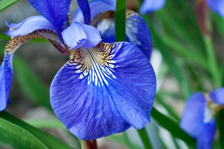 Iris flower photography art print