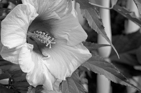 Hibiscus flower art print in black & white