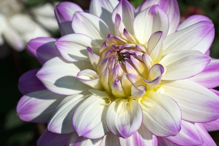 Dahlia flower photgraph arto prints