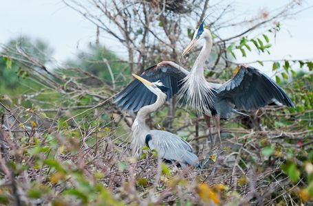 Great Blue Herons Mating Pair photo art print