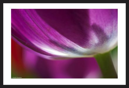 Purple Tulip flower photography art print for home and office