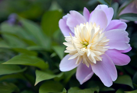 Peony flower photography art print