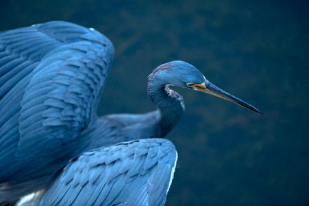 Tricolor Heron photo photo art print