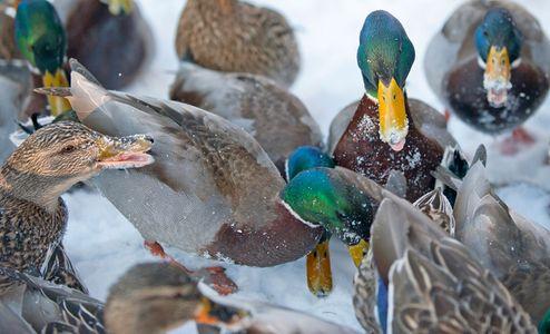 Ducks in the snow willdlife photography art print