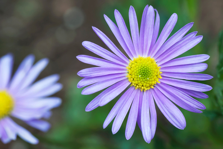 Purple Daisy art print for home and office interior design