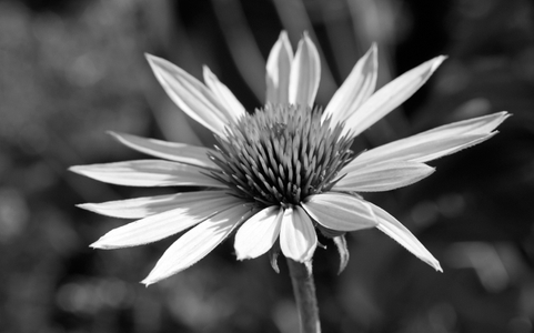 Daisy art print photo in black and white