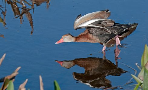 Whistling duck stretching - wildlife photography art print