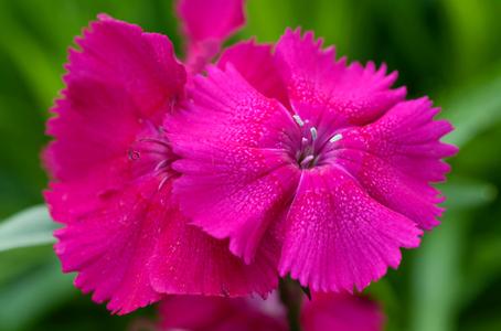 Dianthus flower photography art print for interior design