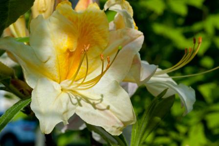 Azalea flower photography art print