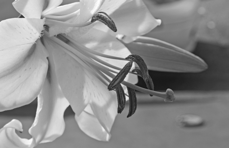 Lily flower art print in black & white for home and office