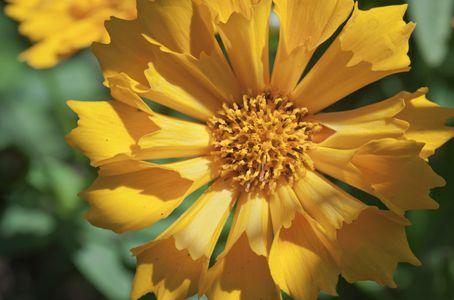 Coreopsis daisy flower photo art print yellow