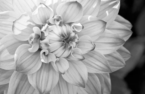 Dahlia flower photography art print B&W