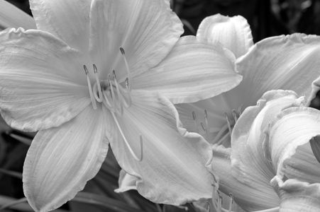 Lily decorative art photography print in black & white