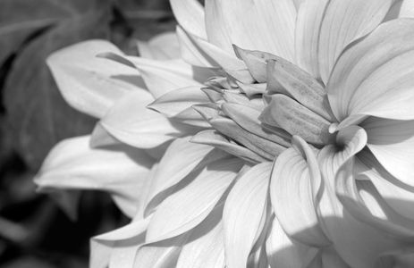 Dahlia flower black & white art prints
