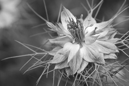Nigella black and white macro photography art print for interior design