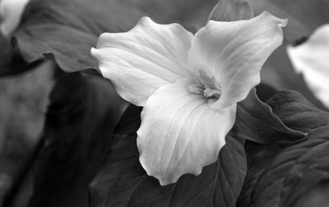 Trillium flower photography art print in black & white
