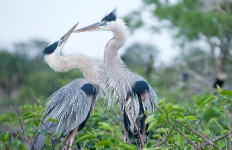 Great Blue Herons - Mating pair showing affection photography wildlife art print