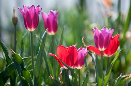 Tulip flower group photography art print