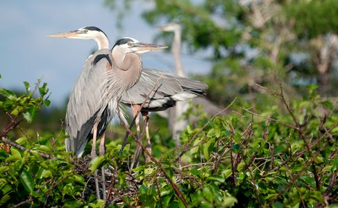 Great Blue Herons mating pair photography art print