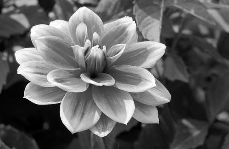 Dahlia flower photography art print in black & white