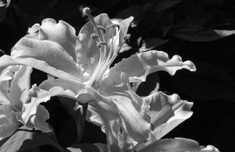 Lily black and white flower art prints for home and office