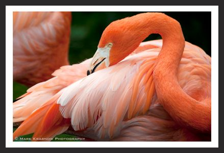 Flamingo in Florida