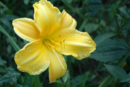 Yellow Lilly flower photography art print