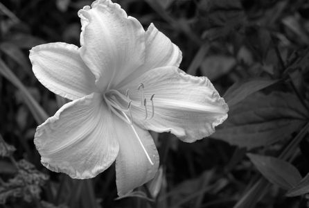 Lilly flower photography art print in black & white
