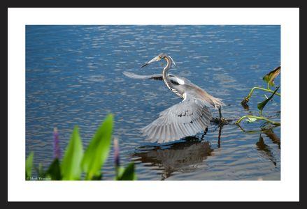 Tricolor Heron hunting at the Florida Wetlands art print
