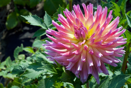 Dahlia flower art prints for home and office design