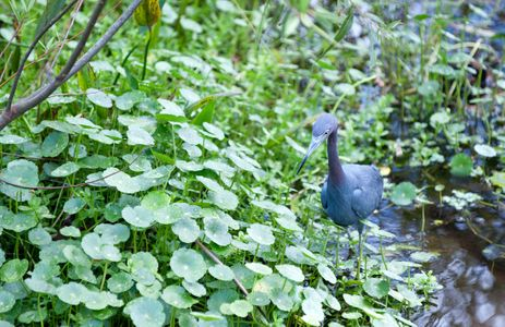 Little Blue Heron at wetland in Florida print