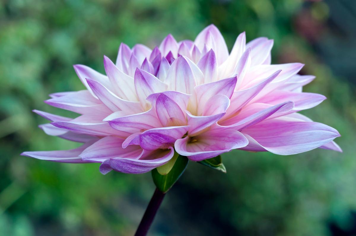 Dahlia Flower Macro Art Printart print