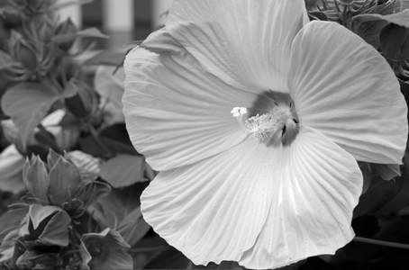 Hibiscus black and white photography art print for interior design