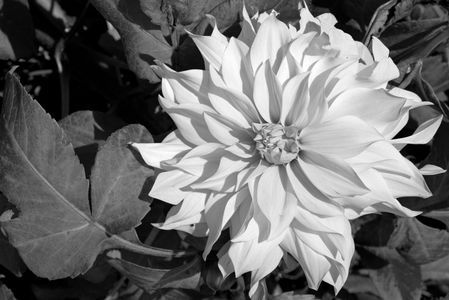 Dahlia flower art prints for home and office interior design