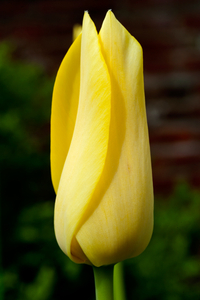 Yellow Tulip flower photography art print