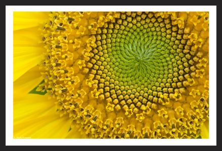 Sunflower flower art print for home and office
